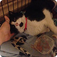 Adopt A Pet :: Felix NEEDS FOSTER - Eastpointe, MI