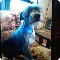 Adopt A Pet :: Stormy - springtown, TX