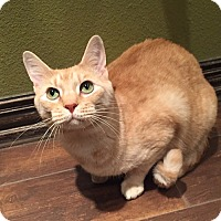 Domestic Shorthair Cat for adoption in Flower Mound, Texas - Ricky