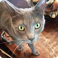 Adopt A Pet :: Grayson Gladstone - Phoenix, AZ