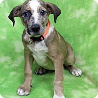 Adopt A Pet :: GABBY - Westminster, CO