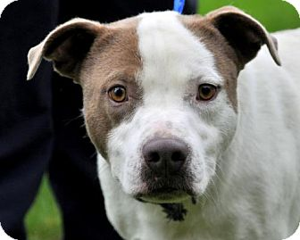 Pit Bull Terrier Mix Dog for adoption in Standish, Michigan - NORM