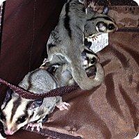 Sugar Glider for adoption in Phoenix, Arizona - Olaf (bonded to Elsa)