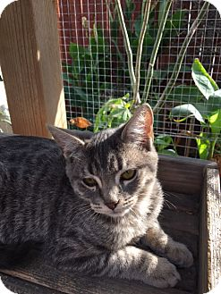 Russian Blue Kitten for adoption in Los Angeles, California - Tiger Lily