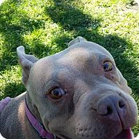 Adopt A Pet :: shorty - Las Vegas, NV