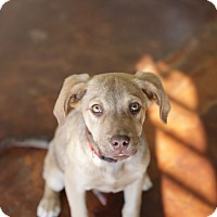 Labrador Retriever/Shepherd (Unknown Type) Mix Puppy for adoption in San Antonio, Texas - Hank