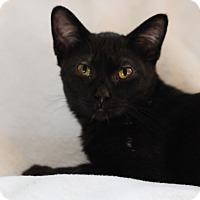 Domestic Shorthair Cat for adoption in Faribault, Minnesota - Cub