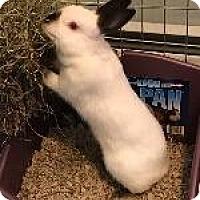 Adopt A Pet :: Athena - Woburn, MA