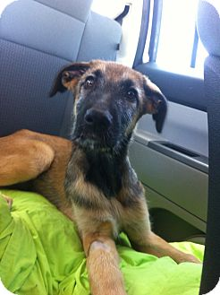 Irish Wolfhound/German Shepherd Dog Mix Puppy for adoption in Gainesville, Florida - Ziggy