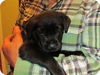 Labrador Retriever Puppy for adoption in batlett, Illinois - Hunter