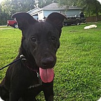 Labrador Retriever/German Shepherd Dog Mix Dog for adoption in Baton Rouge, Louisiana - Betsy
