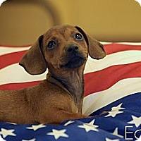 Adopt A Pet :: Eddie - Albany, NY