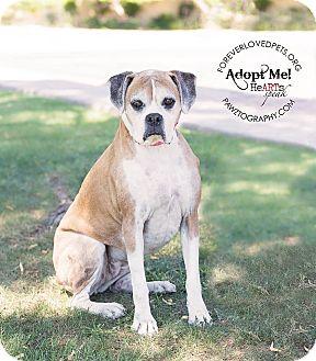 Boxer Dog for adoption in Scottsdale, Arizona - Mia
