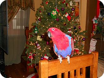 Eclectus for adoption in Hightstown, New Jersey - Coco