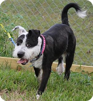 Standard Schnauzer/Bull Terrier Mix Dog for adoption in Spring, Texas - Shiloh