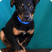 Adopt A Pet :: Robby - Waldorf, MD