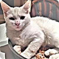 Adopt A Pet :: Snowflake - Sidney, ME