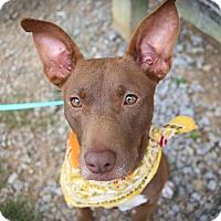 Adopt A Pet :: Mocha - Allentown, PA