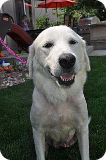 Labrador Retriever Mix Dog for adoption in Broomfield, Colorado - Rosenberg