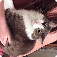 Adopt A Pet :: Oliver - Courtesy Listing - Rootstown, OH