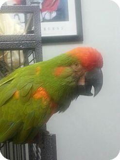 Macaw for adoption in Oceanside, California - Bo