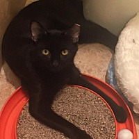 American Shorthair Cat for adoption in New  York City, New York - Gilbert