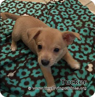 Chihuahua Mix Puppy for adoption in Simi Valley, California - Tucker