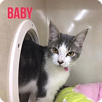 American Shorthair Kitten for adoption in Glendale, Arizona - BABY