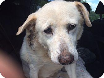 Labrador Retriever Mix Dog for adoption in Cumming, Georgia - Angelica