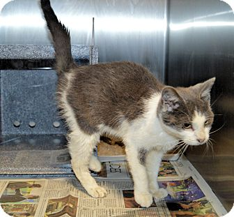 Domestic Shorthair Cat for adoption in Henderson, North Carolina - Chesley