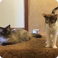 Himalayan Cat for adoption in Ypsilanti, Michigan - Poppy