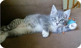 Domestic Shorthair Kitten for adoption in Hewitt, New Jersey - Luna Adoption Pending Congrats Tracy!