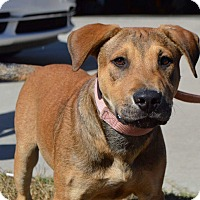 Labrador Retriever/Shepherd (Unknown Type) Mix Puppy for adoption in Springfield, Massachusetts - Max-ADOPTED