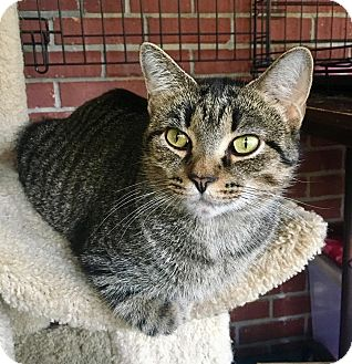 Domestic Shorthair Cat for adoption in Franklin, Indiana - Annika