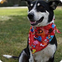 Adopt A Pet :: Brooky - Fort Collins, CO