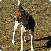 Harrier/Beagle Mix Dog for adoption in Portland, Maine - REESE