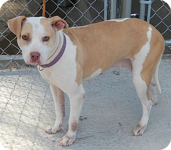 Pit Bull Terrier Mix Dog for adoption in Newport, North Carolina - Mercedes