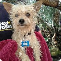 Adopt A Pet :: Silvi - Thousand Oaks, CA