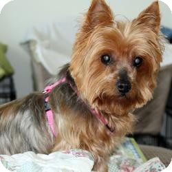 Yorkie, Yorkshire Terrier Dog for adoption in Hardy, Virginia - Daisy