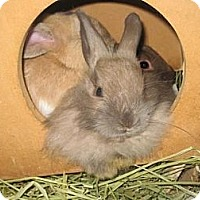 Adopt A Pet :: Mini Lionhead - Los Angeles, CA
