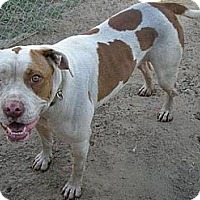 American Bulldog/Pit Bull Terrier Mix Dog for adoption in Fowler, California - Punky
