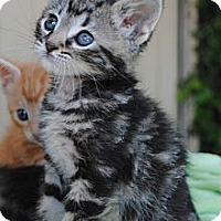Adopt A Pet :: Weezer - Palmdale, CA