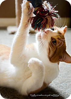 Domestic Shorthair Cat for adoption in Douglas, Ontario - Willis