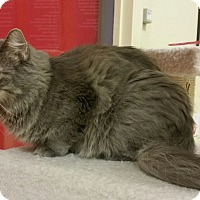 Adopt A Pet :: Miss Kitty - Phoenix, AZ