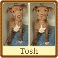 Adopt A Pet :: Tosh Adoption pending - Manchester, CT