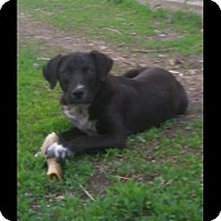 Adopt A Pet :: Baby Lab Brothers Petey and Paulie - New Hartford, NY