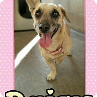 Dachshund/Corgi Mix Dog for adoption in Edwards AFB, California - Daisy