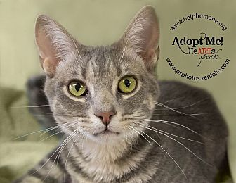 Domestic Shorthair Cat for adoption in Belton, Missouri - Maksim