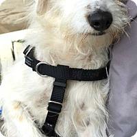 Adopt A Pet :: Patrick-ADOPTION PENDING - Boulder, CO