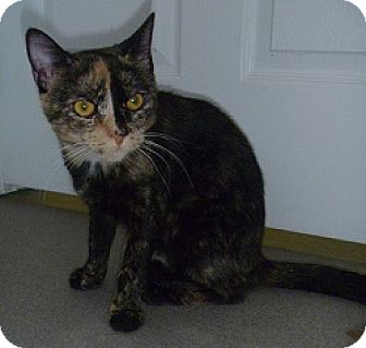 Domestic Shorthair Cat for adoption in Hamburg, New York - Sheera